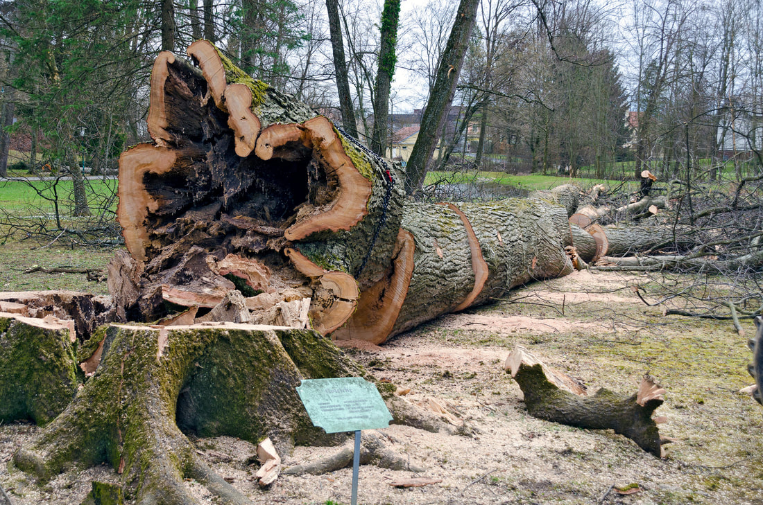 Tree Service St. Louis Mo - Very large hollow tree is down and has been cut into pieces.