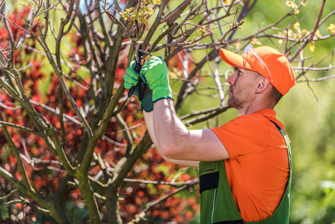 Tree Service St Louis - Worker pruning a small tree.